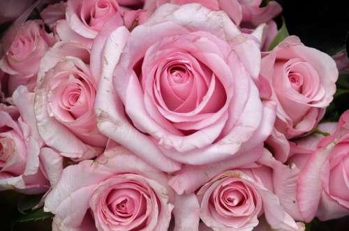 Roses Flower Plant Nature Pink Flora Tender