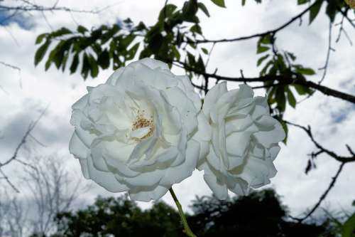 Roses Flowers White Beauty Summer Backlighting