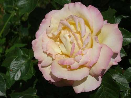 Roses White Flowers Rose Bloom Blossom Bloom