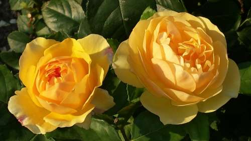 Roses Yellow Blossom Bloom Close Up Beauty