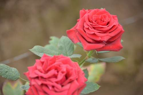 Roses Red Love Flowers Blossoms