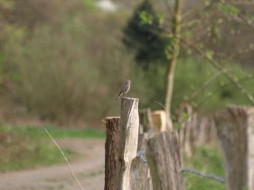 Rotschwaenzchen Bird Small Bird Fence
