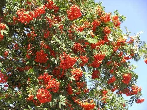 Rowan Berries Red Orange Mountain Ash Haw
