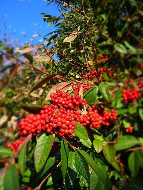 Rowan Tree Nature Berry Rowanberry Red
