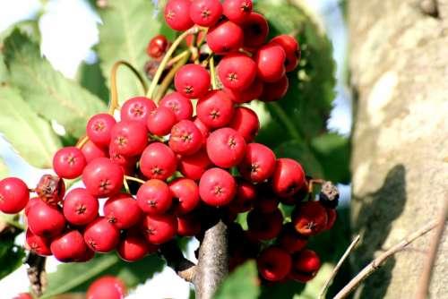 Rowan Mountain Ash Sorbus Aucuparia Deciduous Tree
