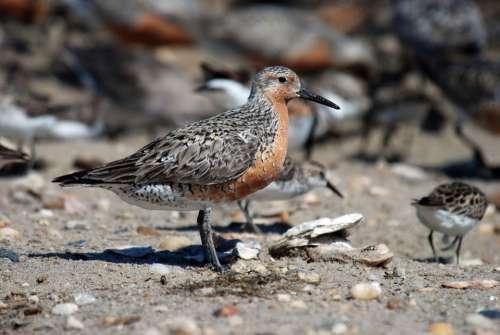 Rufa Canutus Calidris Bird Red Knot Birds