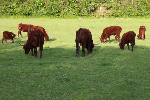 Ruminant Cattle Livestock Horns Domestic Cattle