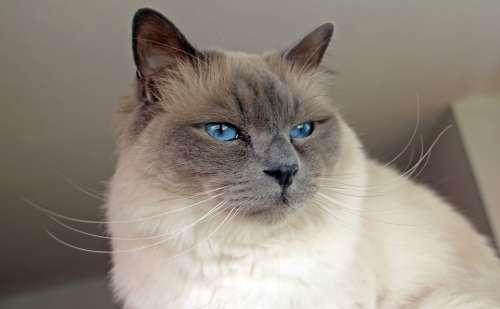 Sacred Birman Cat Breed Cat