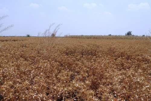 Safflower Fields Crop Ripe Harvest-Ready Karnataka