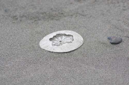 Sanddollar Clypeasteroida Beach Sand Sandy Shade
