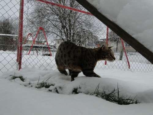 Savannah Cat Cat Wildcat Wild Predator Animal