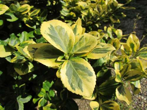 Schefflera Leaves Green Plant