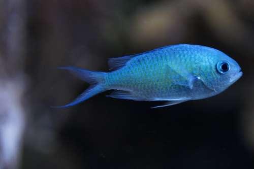 Schwalbenschwänzchen Fish Light Blue Blue