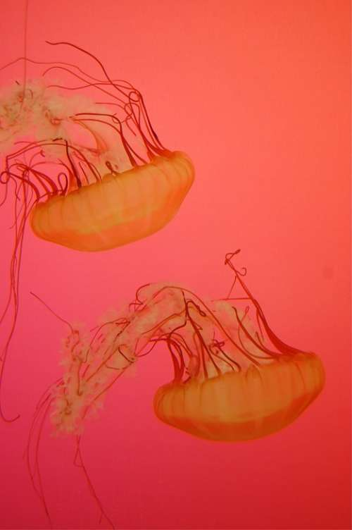 Sea Jellies Creature Deep Fish Float Jellyfish