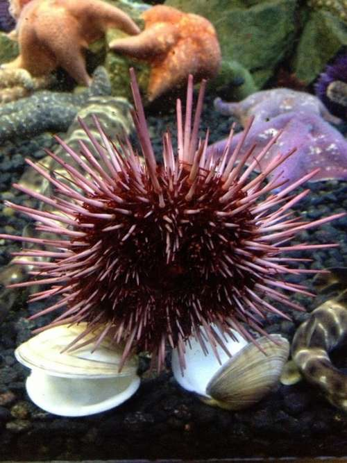 Sea Starfish Ocean Sea Urchin Aquarium Fish