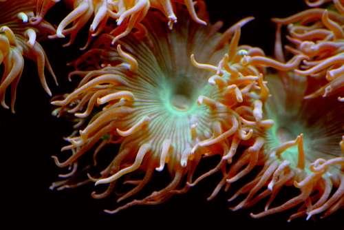 Sea Anemone Aquatic Animals Animal Anemone Creature