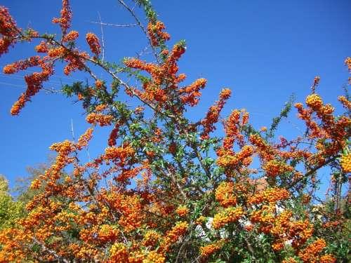 Sea Buckthorn Bush Berries Fruits Orange Sky Blue