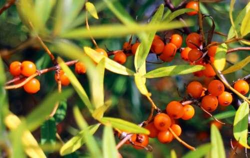 Sea Buckthorn Fruits Berries Orange Red Bush