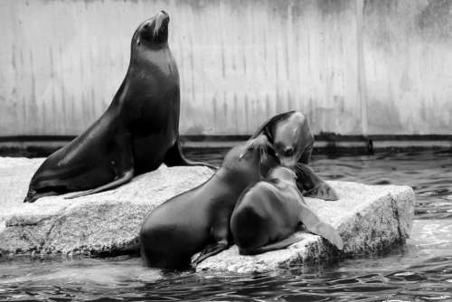 Sea Lion Family Boy Crawl Zoo Acrobatic