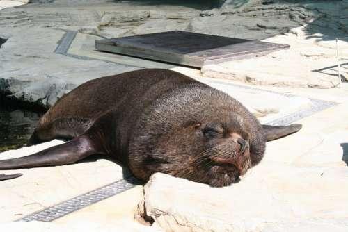 Sea Lion Robbe Seal Sleep Lazy Zoo Animal World