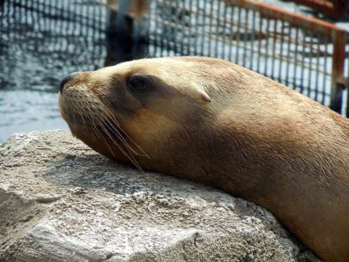 Sea Lion Head Relaxed Dormant