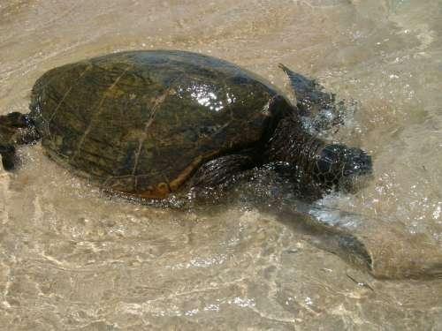 Sea Turtle Hawaii Turtle Sea Marine