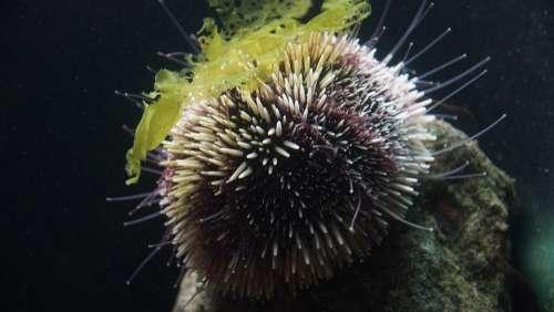 Sea Urchin Sea Hedgehog Ocean Marine Life Fauna