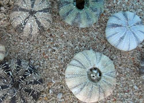 Sea Urchins Marine Life Meeresbewohner