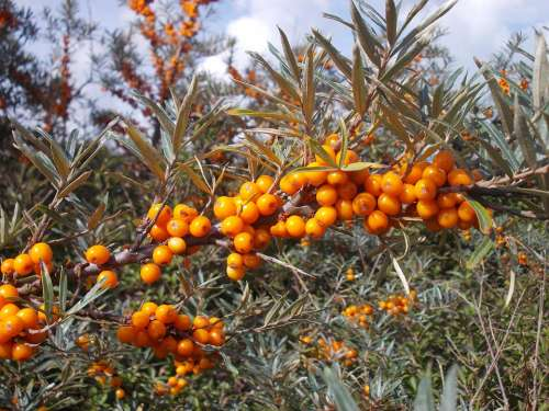 Seabuckthorn Wild Fruits Wild Berries Berries
