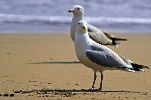 Seagull Bird White Sea Gull Sky Background Beach