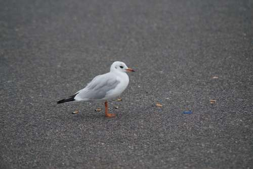 Seagull Bird Foraging Cigarettes Garbage Waste