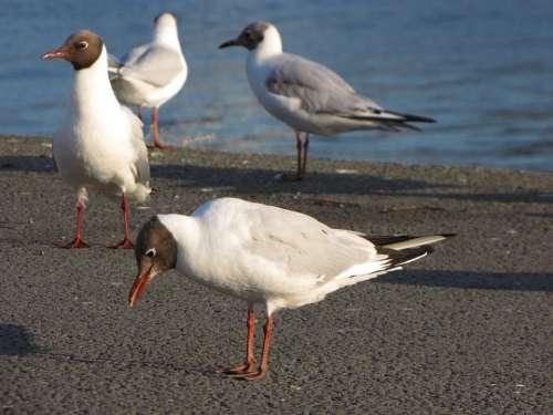 Seagull Gull Head Bird Birds Sea Pond Sunset