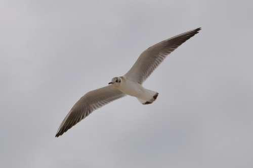 Seagull Bird Wings Sky