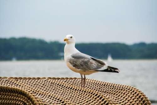 Seagull Black Headed Gull Bird Bill Feather