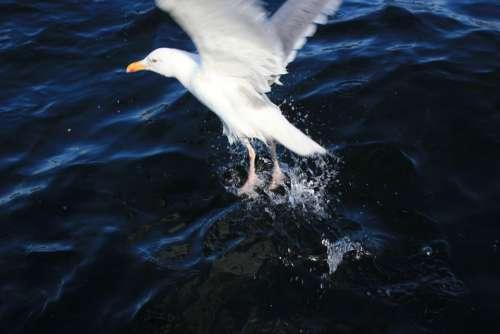 Seagull Sea Water Wave North Sea Water Bird Wind
