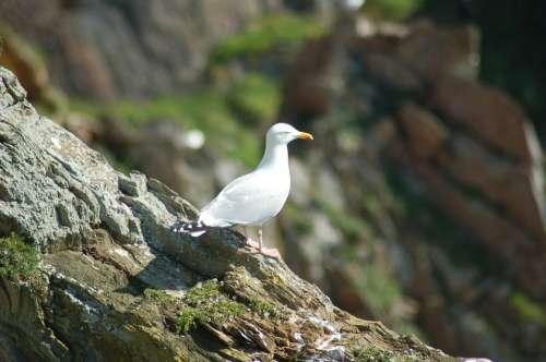 Seagull Bird Animal Water Gull Wings Seagulls