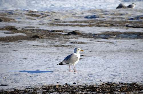 Seagull Baltic Sea Winter Bird