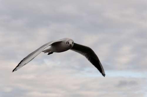 Seagull Bird Flight Clouds Animal Water Bird