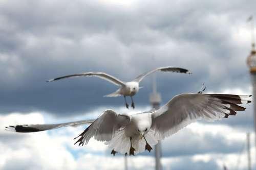 Seagull Bird Birds Fauna Ave Wings Animals Sky