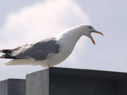 Seagull Screech Call Water Bird Bird