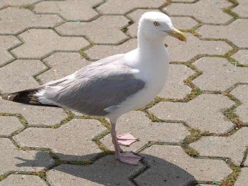 Seagull Bird Water Bird Creature Animal