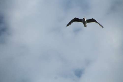 Seagull Grey Sky Bird White Blue Animal Flying