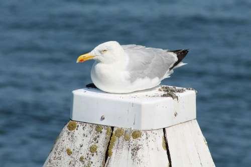 Seagull Beach Water Bird Coast Sea Bird Plumage