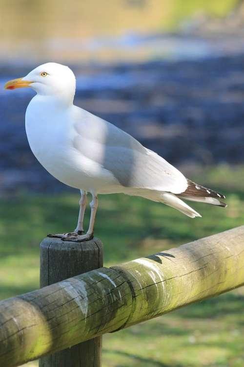 Seagull Bird Nature Feathers Pen Sea Holiday