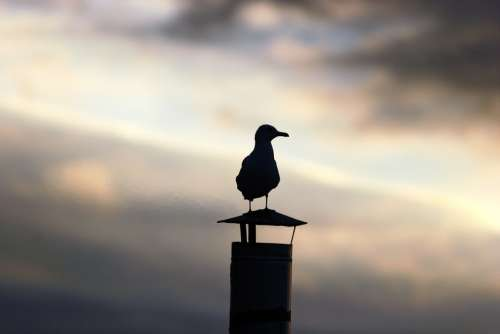 Seagull Animal Sunset Backlight Bird Gull Chimney