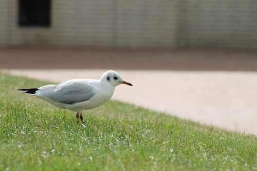 Seagull Bird Meadow Rush