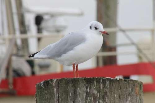 Seagull Port Coast North Sea Baltic Sea