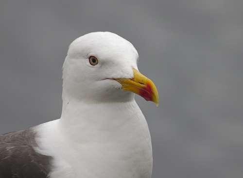 Seagull Bird Nature Animal White Gull
