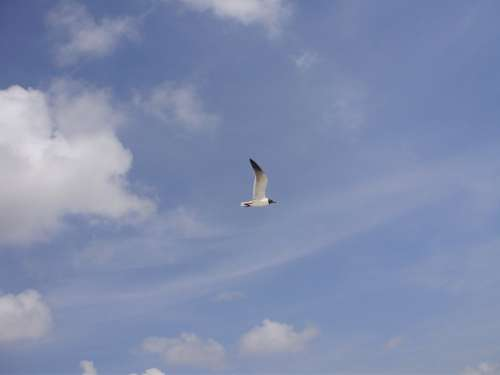 Seagull Bird Sky Clouds Blue Day Outside