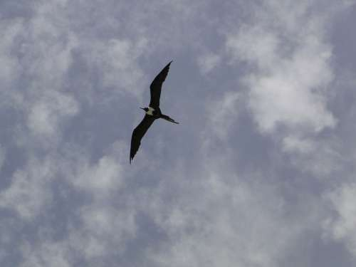 Seagull Profile Sky Frigate Freedom Frigate Bird